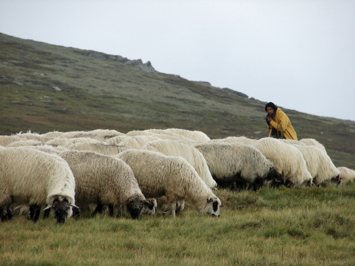 the sheep will scatter {photo credit: constantin jurcut on stock.xchng}